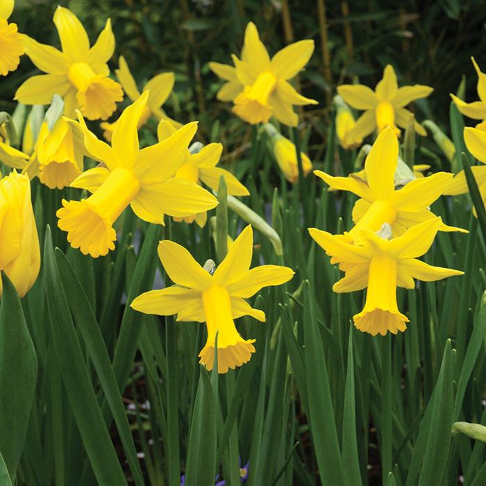 Peeping Tom Daffodil