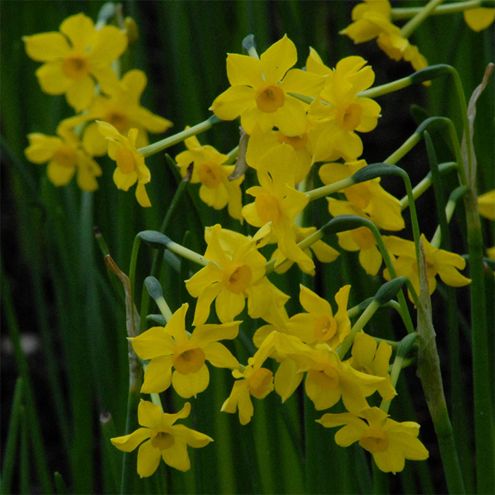 Baby Boomer Daffodil