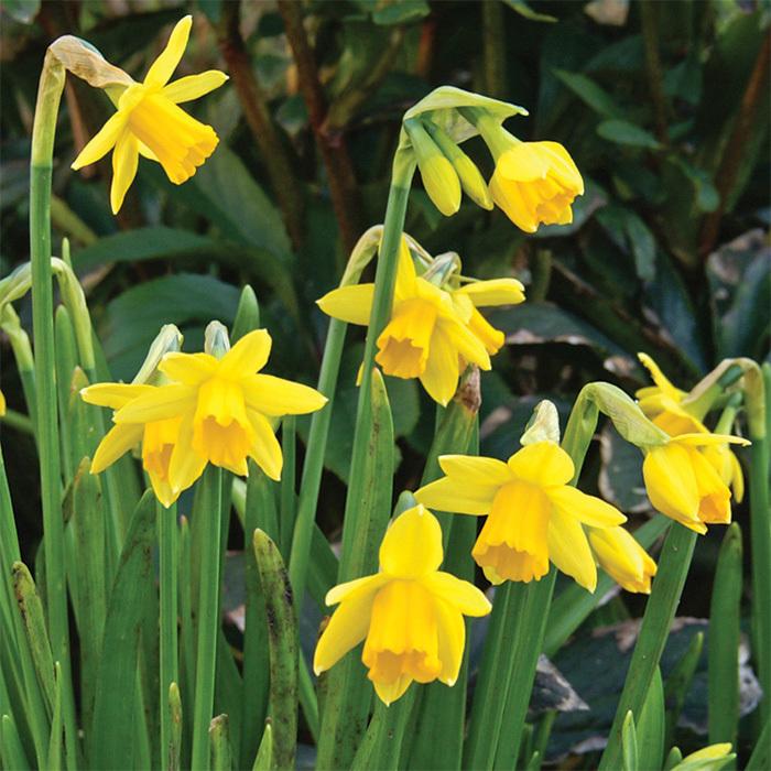 Stratosphere Daffodil