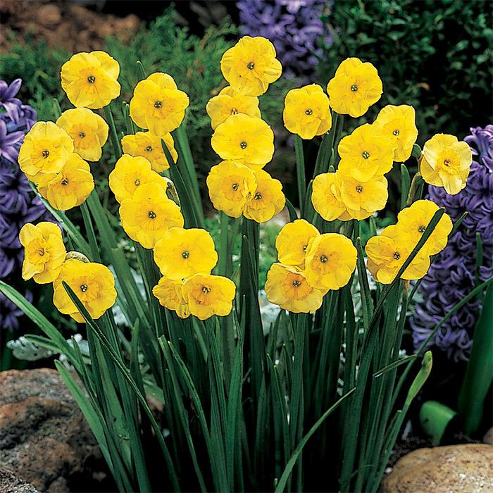 Sun Disc Miniature Daffodil