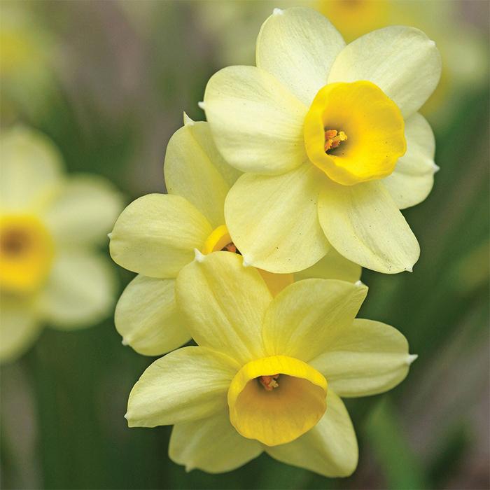 Minnow Daffodil
