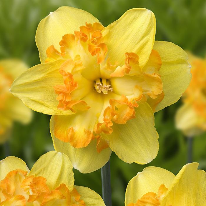 Blazing Starlet Daffodil