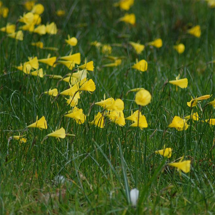 Narcissus Bulbocodium Conspicuus