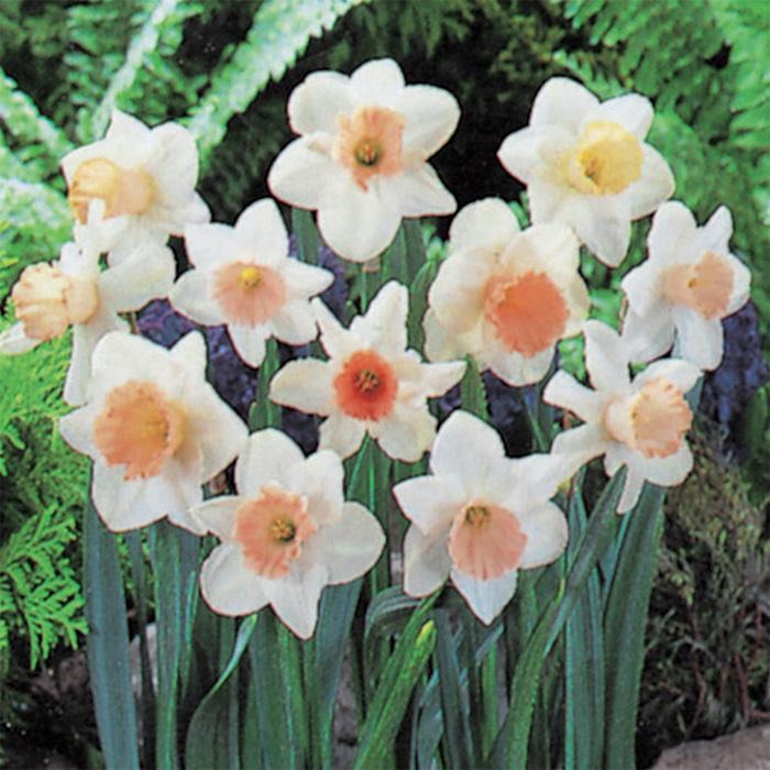 Pretty In Pink Mix Daffodil