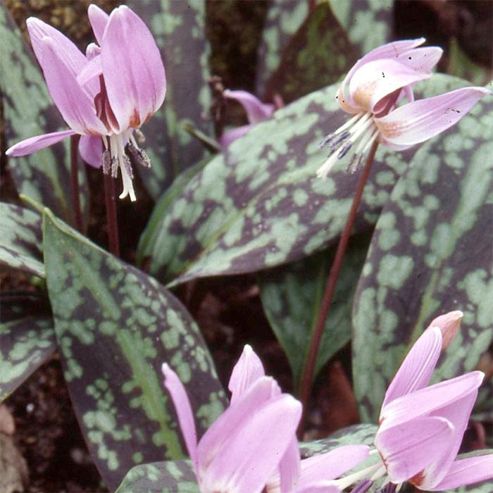 Erythronium Dens-Canis Lilac Wonder