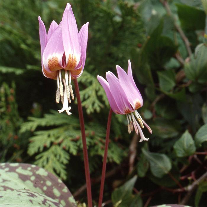 Erythronium Dens-Canis Purple King