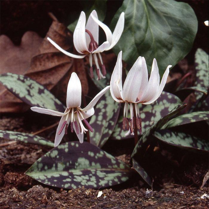 Erythronium Dens-Canis Snowflake