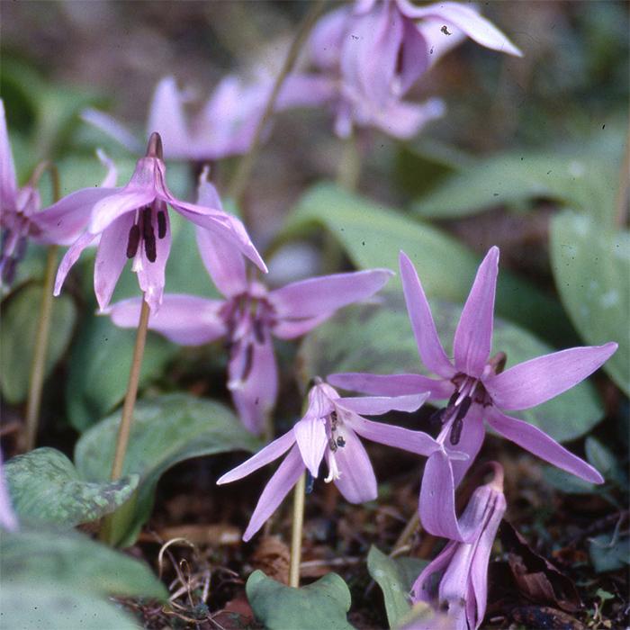 Erythronium Dens-Canis Japonicum