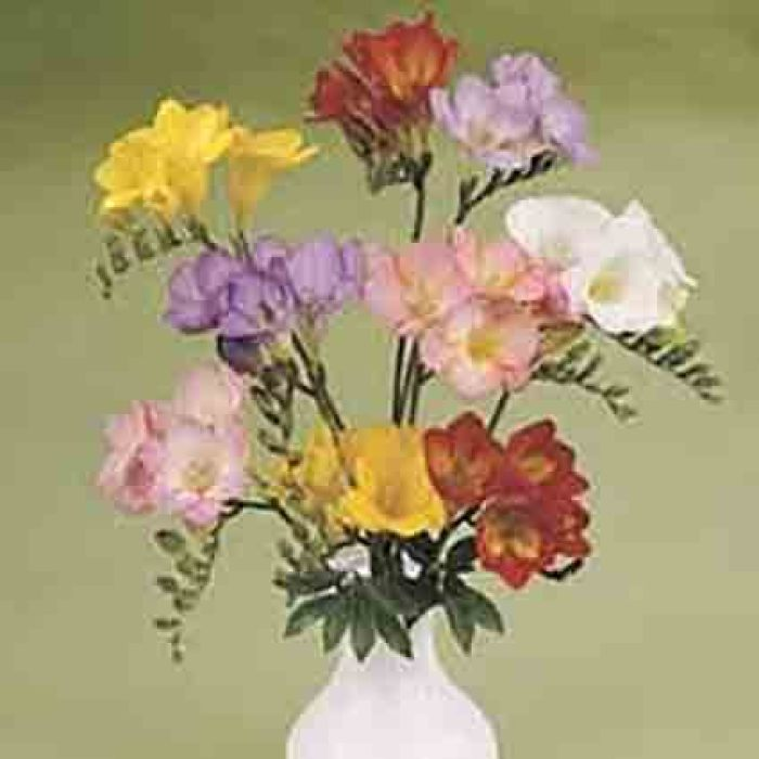 Single Flowering Mix Freesia