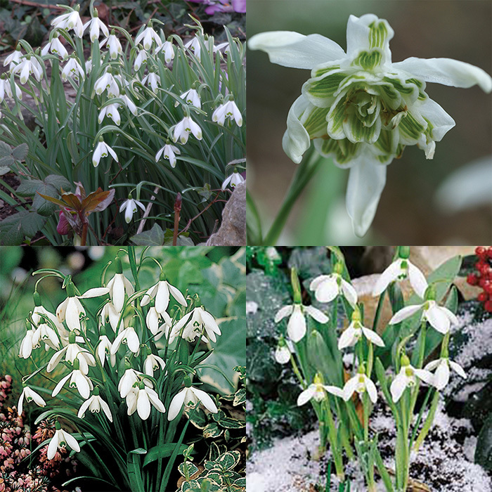 Galanthus Collection