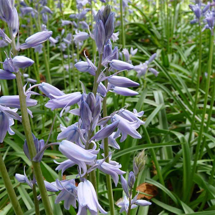Hyacinthoides Light Blue