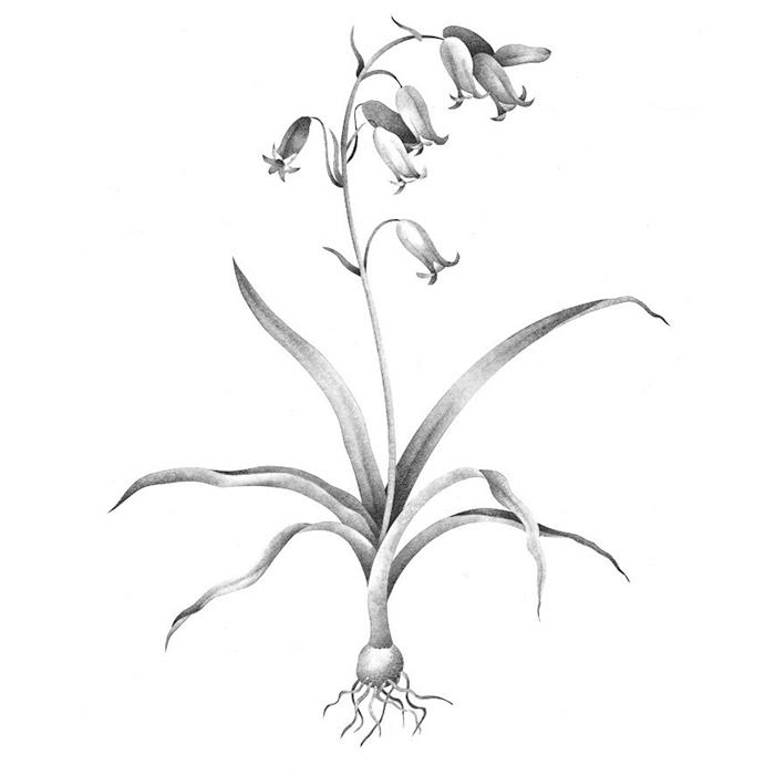 English Bluebells Hyacinthoides