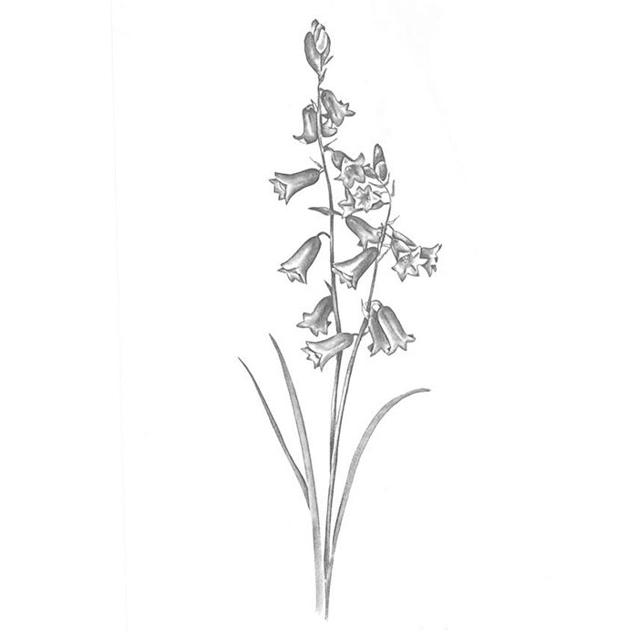 Brimeura amethystinus