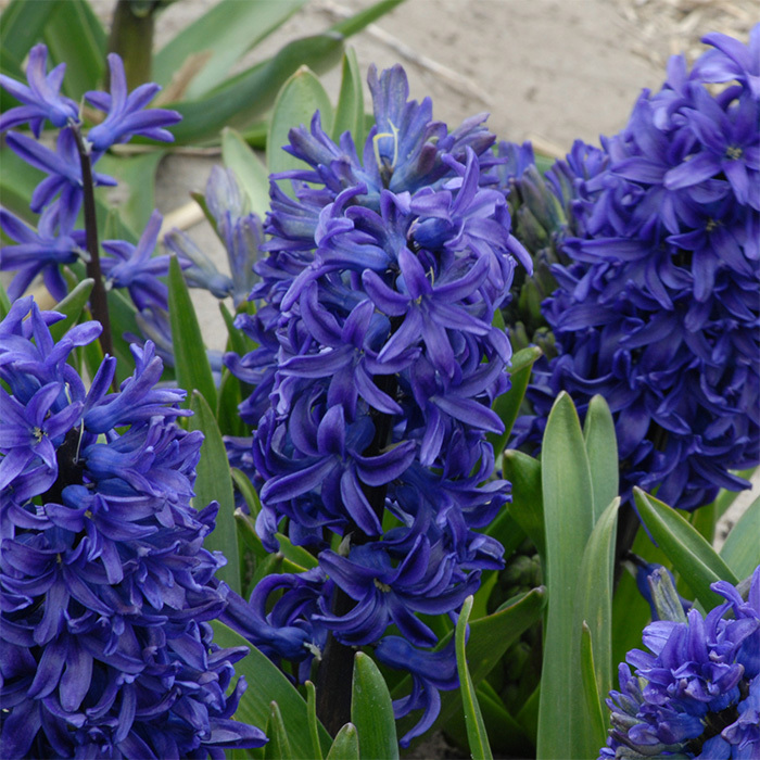 King Of The Blues Hyacinth