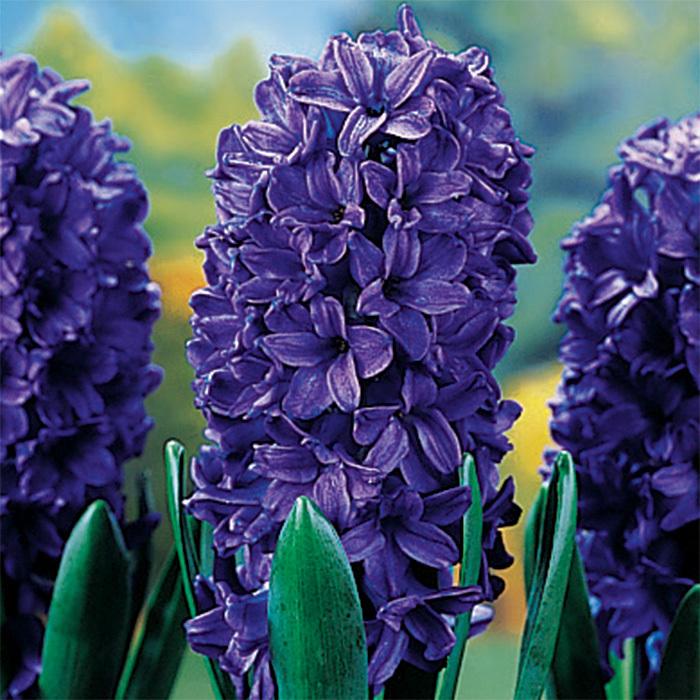 Peter Stuyvesant Hyacinth