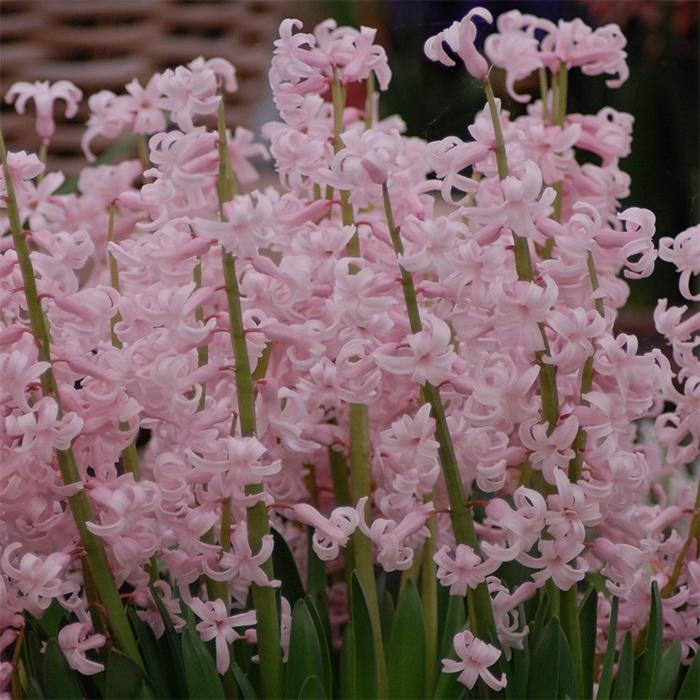 Festival Pink Hyacinth