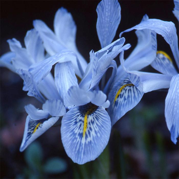 Iris Histrioides Sheila Ann Germany