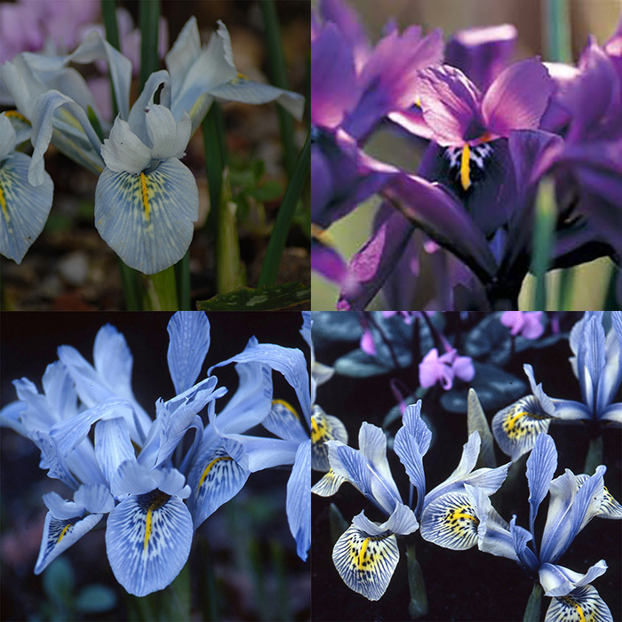 Iris Histrioides Collection