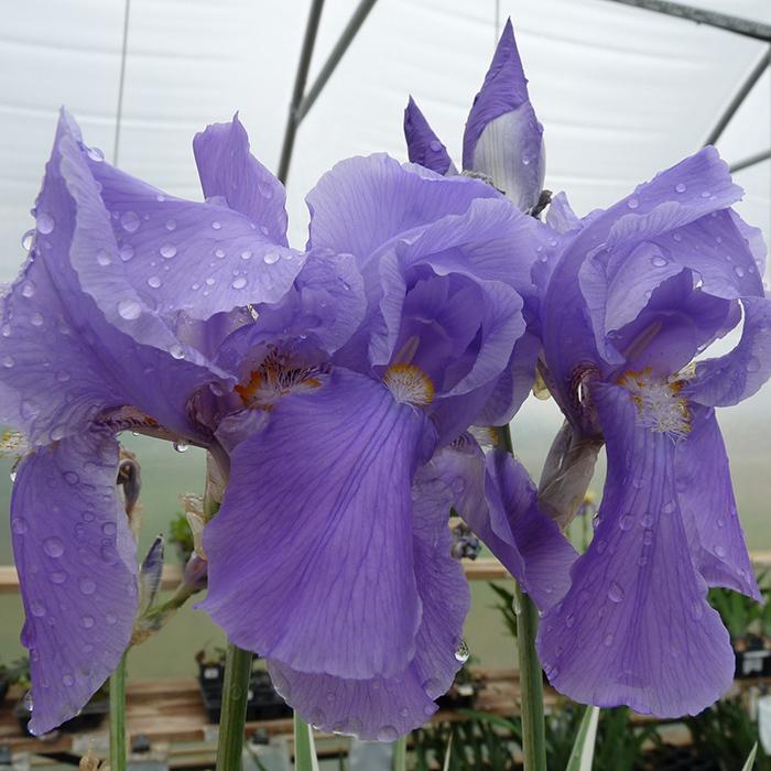 Aurea Variegata Iris