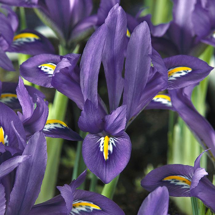 Scent-Sational Reticulata Iris