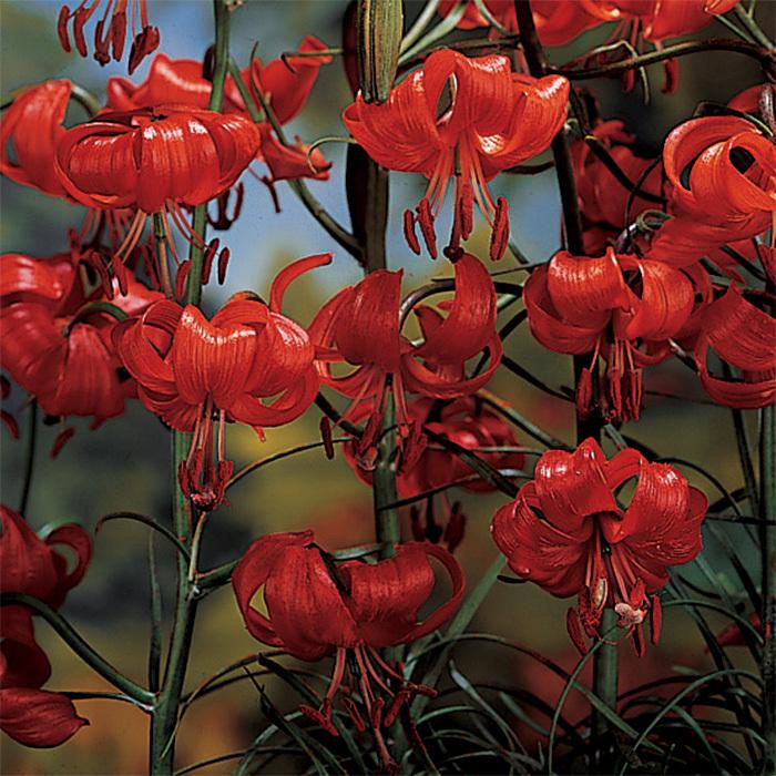 Lilium Tenuifolium (Scarlet Turkscap)