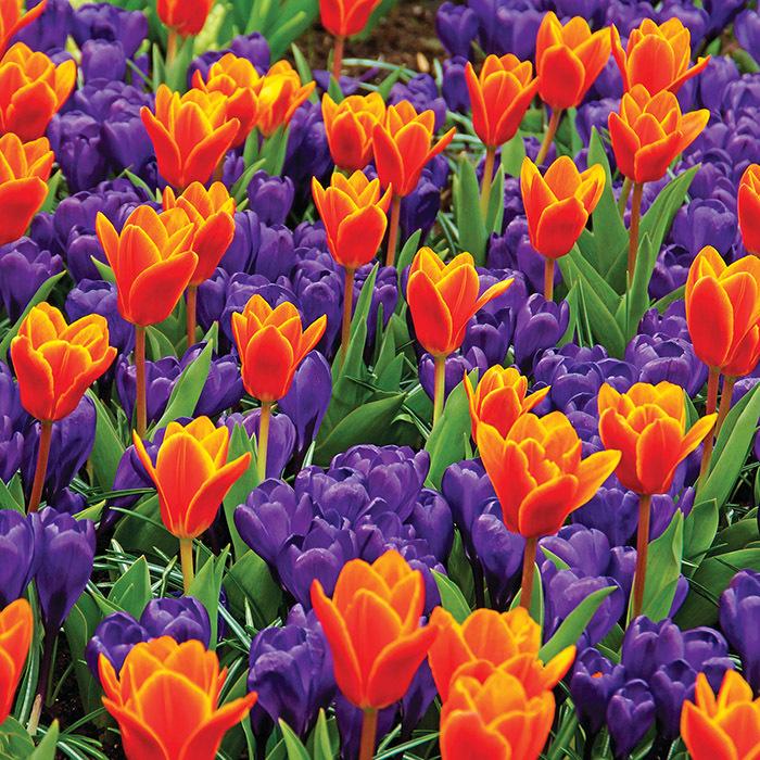 Early Harvest Kaufmanniana Tulip