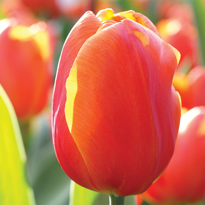 Christmas Orange Single Early Tulip