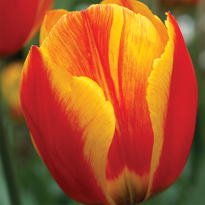 Flair Single Early Tulip