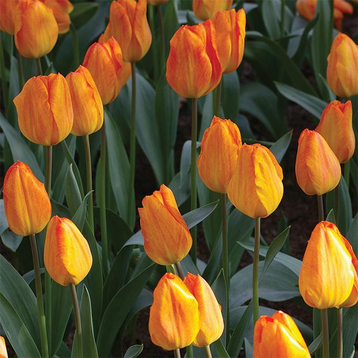 General De Wet Single Early Tulip