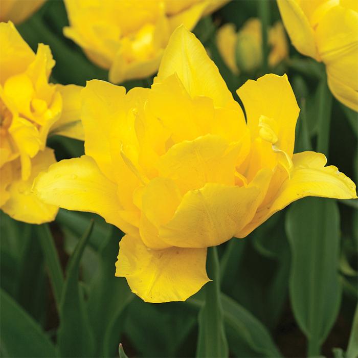 Monte Carlo Double Early Tulip