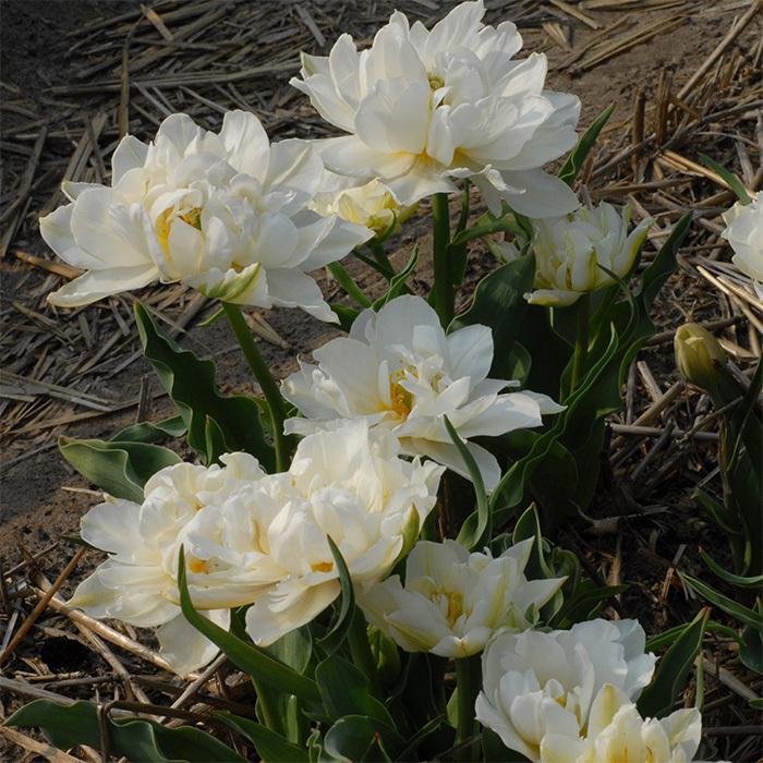 Schoonoord Double Early Tulip