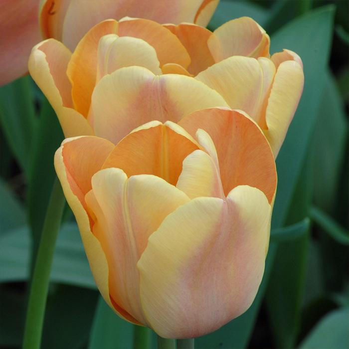 Apricot Foxx Triumph Tulip
