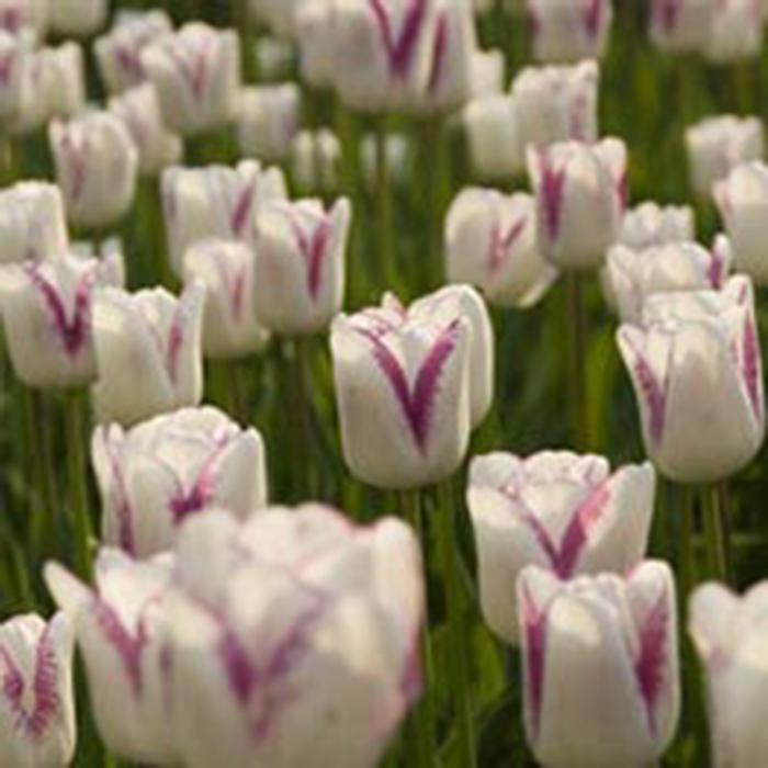 Shirley Triumph Tulip