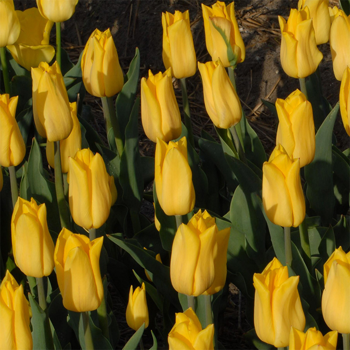 Strong Gold Triumph Tulip