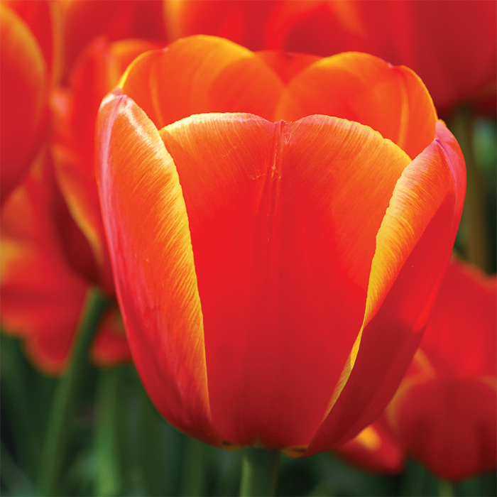 Ad Rem Darwin Hybrid Tulip