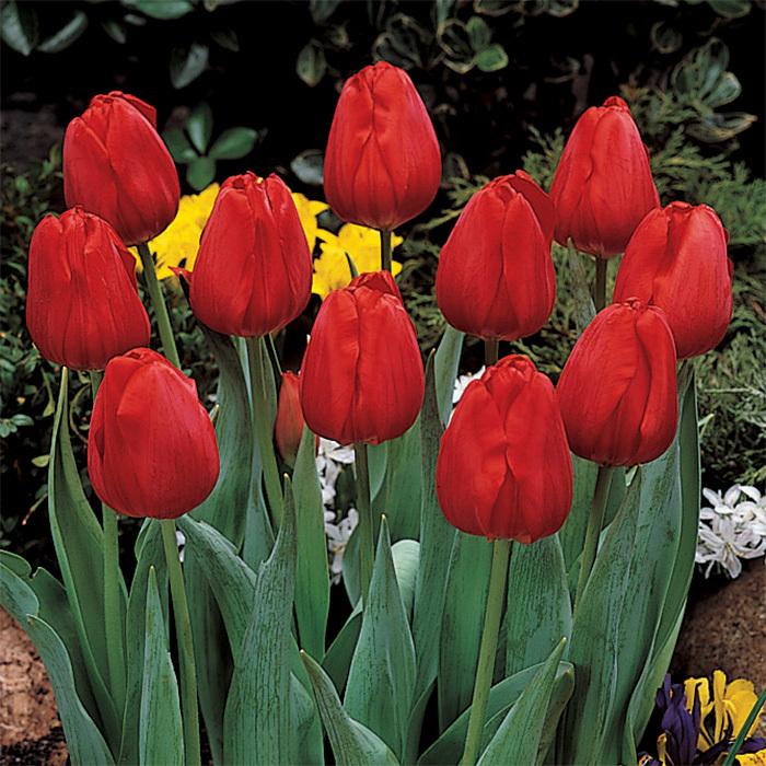Apeldoorn Darwin Hybrid Tulip