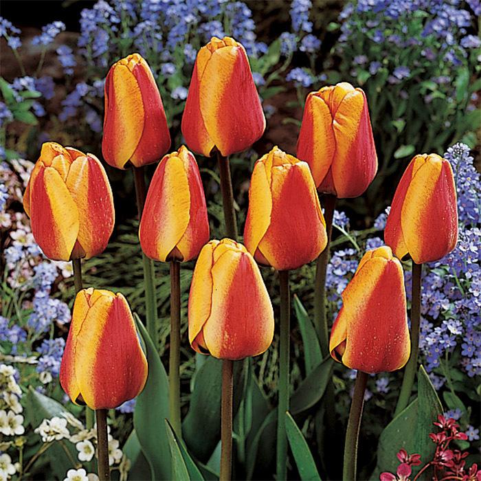Apeldoorns Elite Darwin Hybrid Tulip