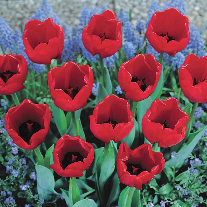 Come Back Darwin Hybrid Tulip