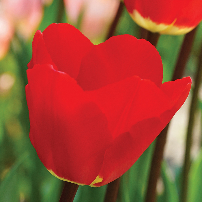 Fostery King Darwin Hybrid Tulip
