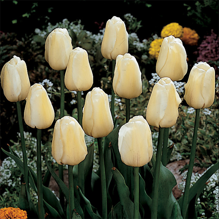 Ivory Floradale Darwin Hybrid Tulip