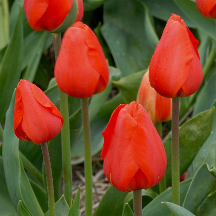 Oranjezon Darwin Hybrid Tulip