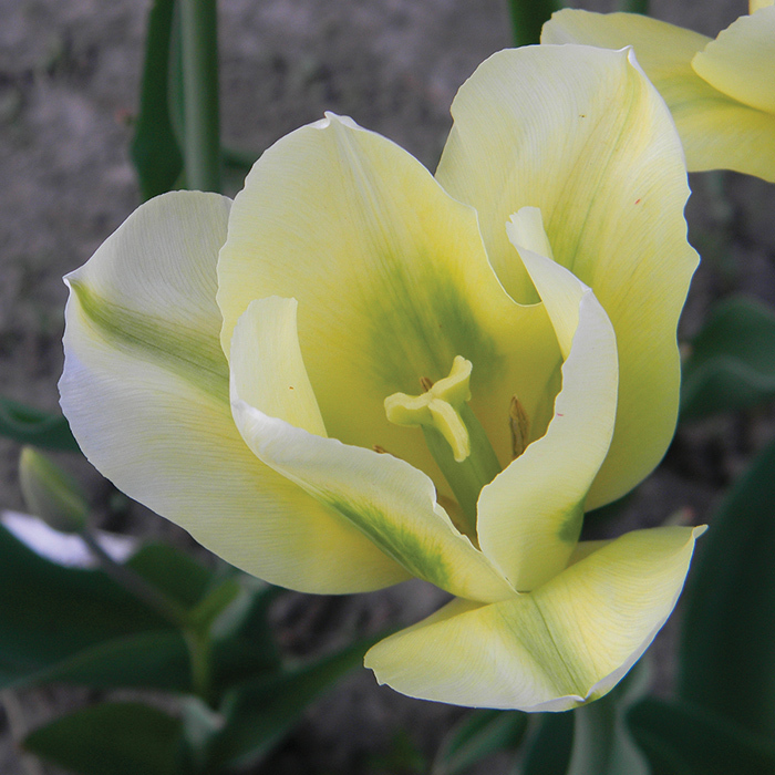 Green Eyes Viridiflora Tulip
