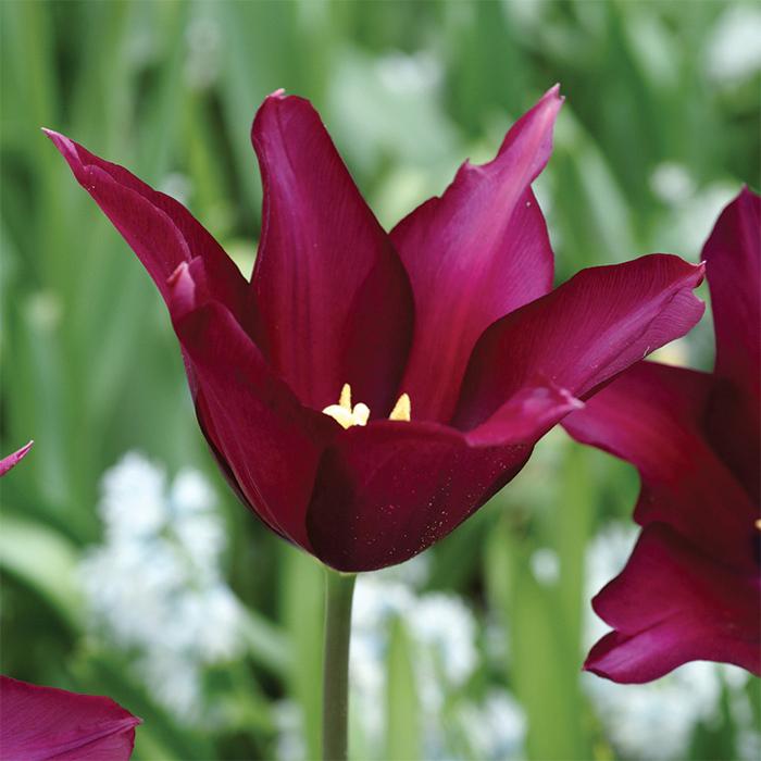 Burgundy Lily-Flowered Tulip