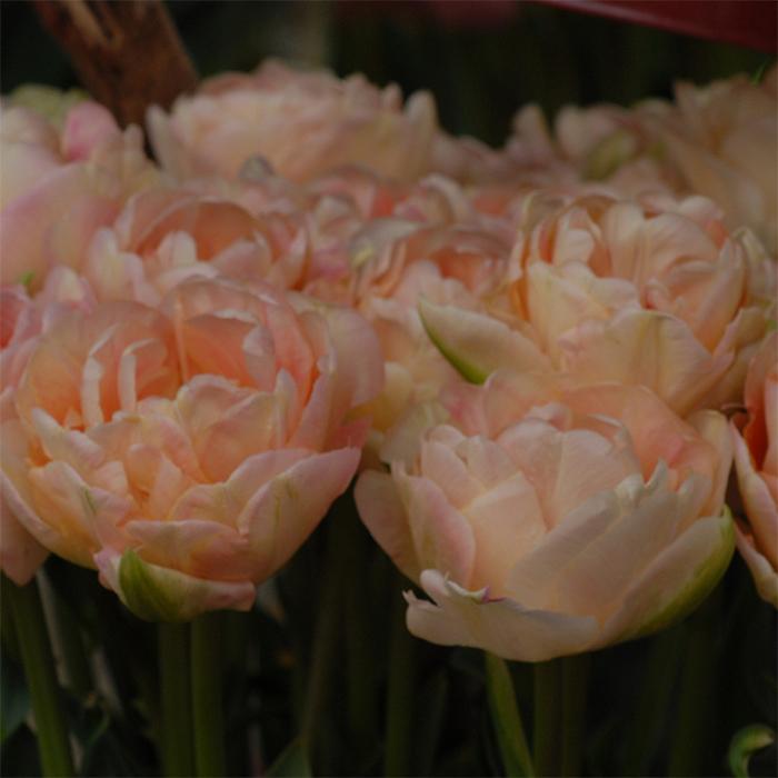 Apricot Angelique Double Late Tulip