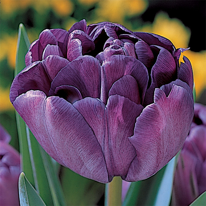 Blue Diamond Double Late Tulip