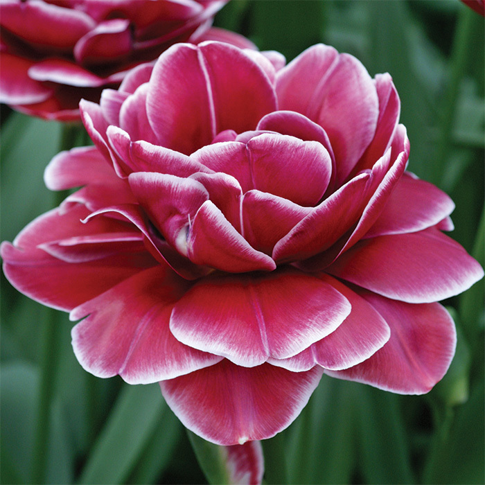 Dream Touch Double Late Tulip