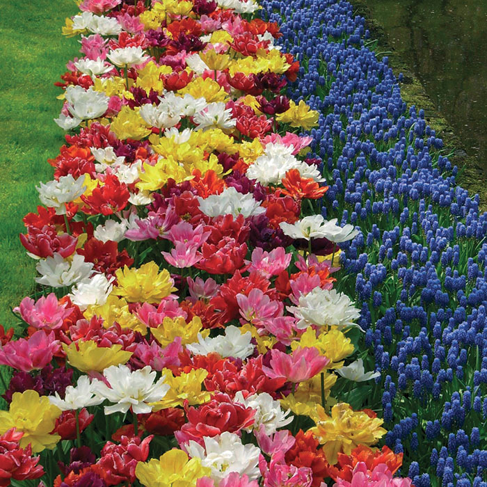 Mixed Double Late Varieties Tulip