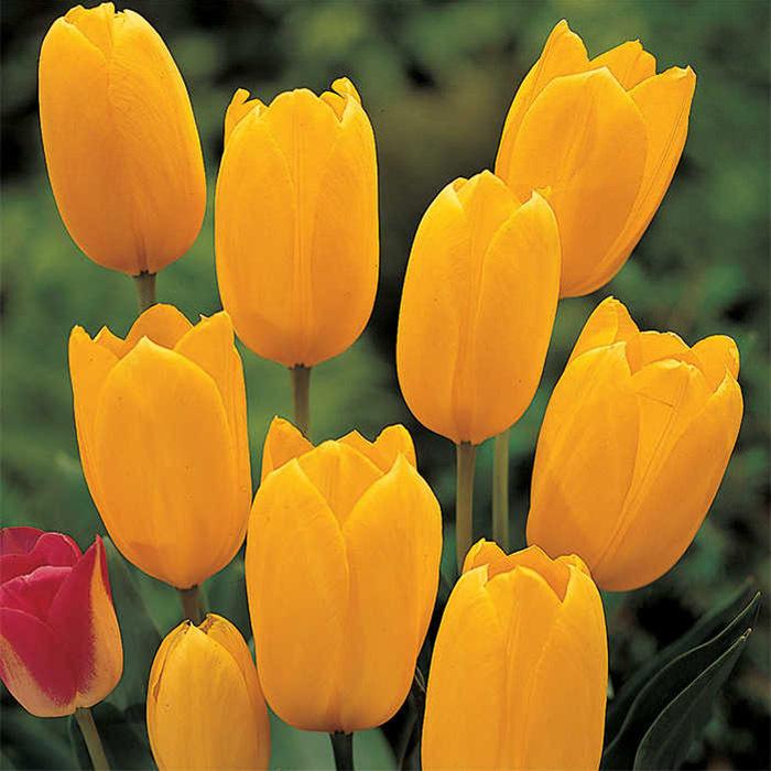 Big Smile Single Late Tulip