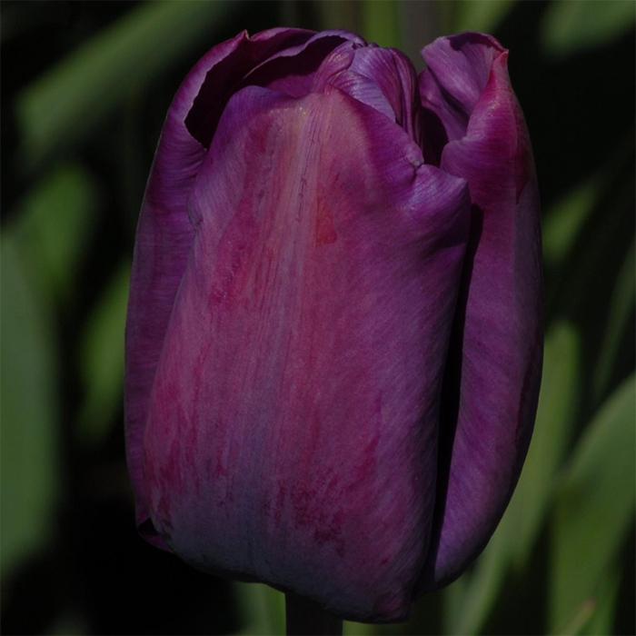 Cum Laude Single Late Tulip