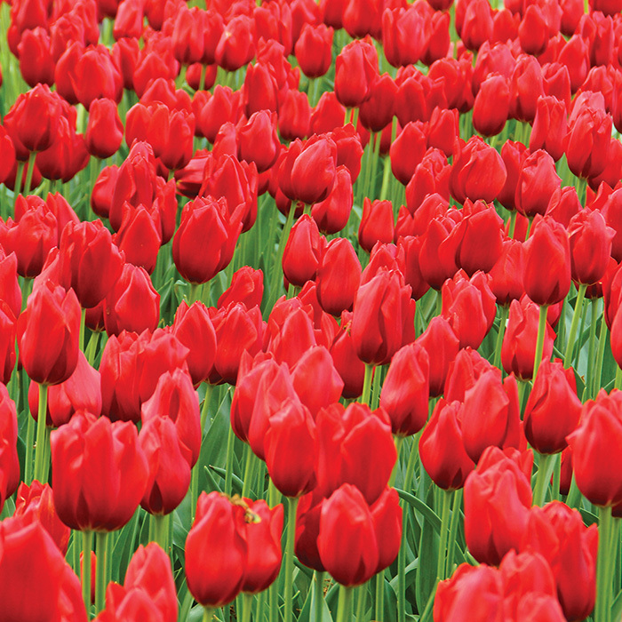 Kingsblood Single Late Tulip